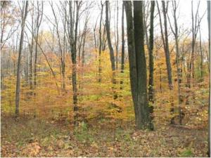 Birch Trees in woods covered with yellow and reddish leaves during fall