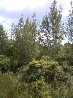 Gray Birch Bog Preserve Brush