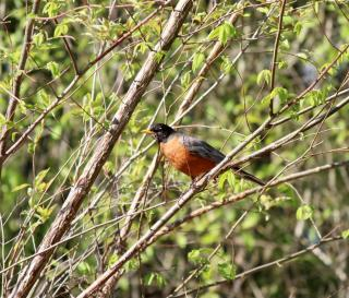 A red breasted robin perches on a tree branch with green foliage behind him