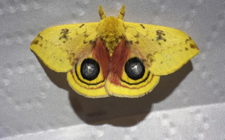 Io Moth, photo Joe DeFuria